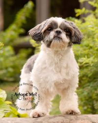 Ricki is an adoptable Shih Tzu Dog in Wooster, OH. Ricki came from a commercial breeding kennel in the area. She was three years old July 19. Ricki is a great little dog, weighs 10 pounds and is cute,...