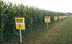 Mexico Bans GMO Corn, Effective Immediately