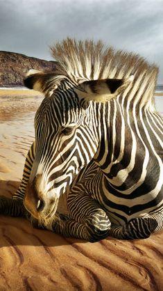 Zebra - On the beach