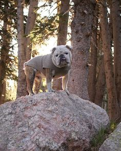 Rembrandt English Bulldog