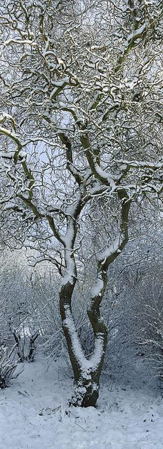 Bare, Snow-covered Tree In Winter