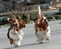 Running basset hounds