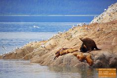 Sea Lions Hanging out on Marble Island Alaska