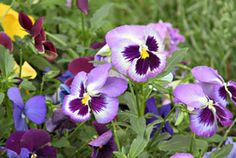 Planting Pansies- plant late summer/early fall for beautiful yard in spring time!!