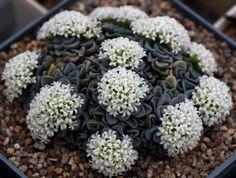 sucul, crassula susanna, cacti, serious succul, succul flower, simpli succul, garden, crassula mesembryanthemopsi, cactus