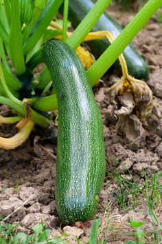 Use a Natural Pesticide for Squash Bug Control - Organic Gardening - MOTHER EARTH NEWS