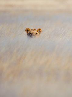 lion, anim, big cats, savannah africa, blend, beauti, 10 years, into the wild, wild africa