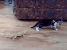 This kitten who went wild after seeing another animal walk past her. | 29 Cats Who Failed So Hard They Won