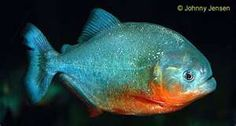 red belly piranha