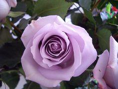 Love Lavender rose bushes