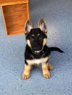 German Shepherd Dog puppy.  What a FACE!