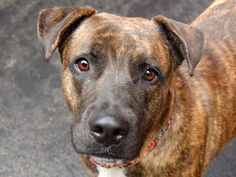 TO BE DESTROYED 10/21/14 Manhattan Center -P My name is DAISY. My Animal ID # is A1016786. I am a female br brindle germ shepherd and american staff mix. The shelter thinks I am about 3 YEARS old. I came in the shelter as a STRAY on 10/08/2014 from NY 10029, owner surrender reason stated was OWNER DIED.