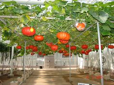 These pumpkins look great! #hydroponics