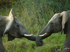 Real game rangers do cry - Young elephant bulls