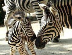 hors, mother, famili, black white, baby animals, animal babies, stripe, beautiful creatures, zebras