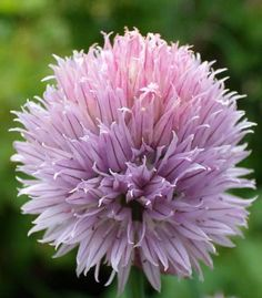 chive flowers turn pinkier once dried