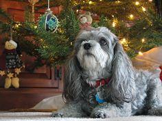 Our Malti-Poo Christmas girl ... JhC #Dog #Pet