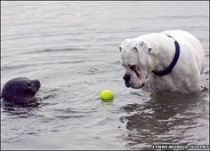 A white boxer dog had a one-in-a-million encounter, but lost his ball in the process. The dog got quite a surprise when he went into the sea to get his ball back. The dog was a few feet from shore on the coast of Scotland when a curious baby seal popped up to say 'hello'.