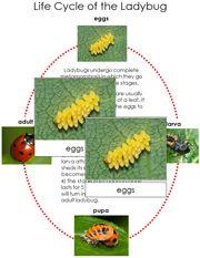 Free ladybug life cycles cards and charts