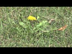 When is the best  time to control weeds? Spring or Fall? Ag Minute video series.