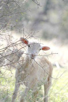 farm, anim, easter, baby lamb, goat, white, lambs, sheep, country