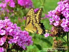 Swallowtail Butterfly on Garden Phlox