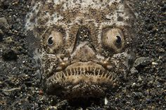 Stargazer fish...a bit creepy