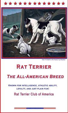 Rat Terrier Club of America anim, ratti, stuff, american breed, doggi, rats, thing, rat terriers
