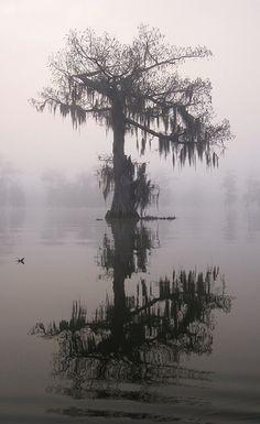 Cypress, Lake Martin, near Lafayette, Louisiana, 2011, photo by Steve Pierce