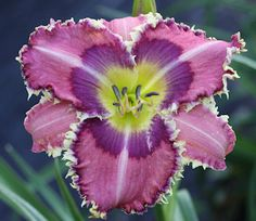 Daylily 'Blue Eyed Dragon'