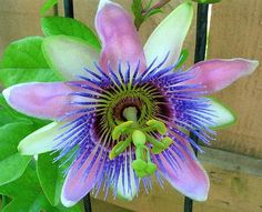 Passion Flower - Just in time for Valentine's Day!