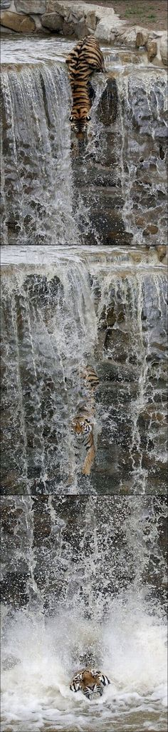 Tiger descends a waterfall. Wow.