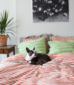 Striped bedding + Boston Terrier!