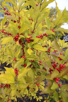 10/5/14 -- It is the time of year when we start to see more color from berries than from flowers. The colors of this Downtown State College bush really popped.