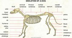 Skeleton of a dog