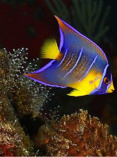 Juvenile Queen Angel Fish