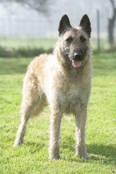 BELGIAN SHEPHERD DOG LAEKENOIS