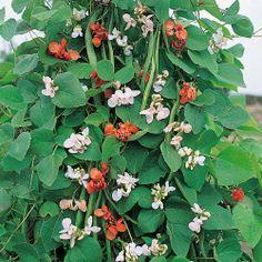runner bean sunset | ... Vegetable Seeds Pea & Bean Seeds Runner Bean 'Summer Medley