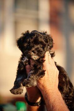 MaltiPoo @ http://allthingssplendid.wordpress.com/2012/01/20/dreamin-of-dogs/