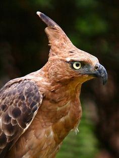 Javan hawk-eagle (Spizaetus bartelsi) -