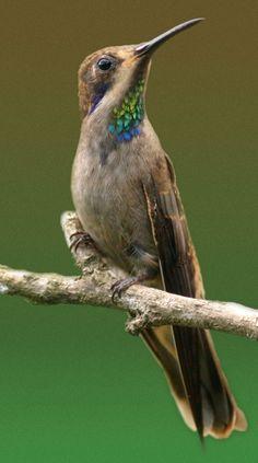 Brown Violetear hummingbird, brownvioletear