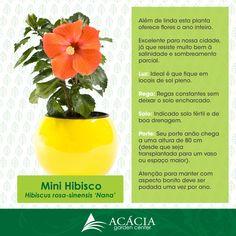 Como cuidar de mini hibiscos