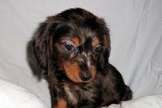 We want a miniature long haired dachshund!