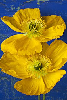 Two Yellow Iceland Poppies