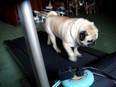 Chino,exercising pug - YouTube