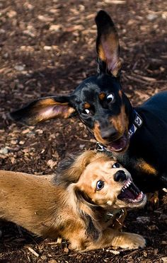 Doxie smack-down!