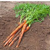 Growing Carrots - How to Grow carrots in the Vegetables Garden