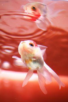 鏡 | goldfish