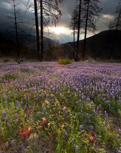 Wildflowers, Yosemite National Park, CA