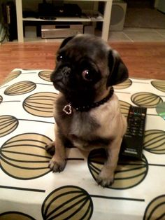 Ruby showing off her new necklace! http://pgspt.me/HgHyw8 #pug #dog